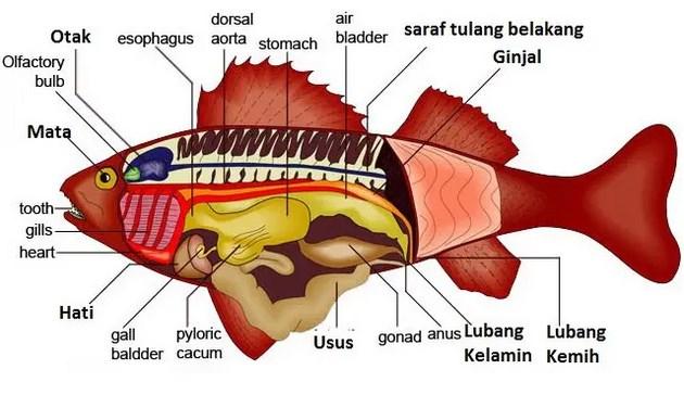 Pengertian-Pisces-(-Ikan-),-Ciri,-Jenis,-Struktur,-Klasifikasi,-Contoh,-Pernapasan-&-Proses